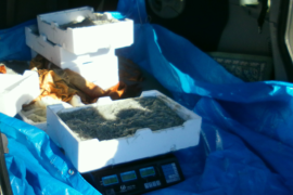 Sequestrati 40 chili di novellame di sarda. Devoluti in beneficenza
