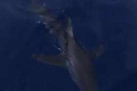 Avvistato uno squalo a Cetraro (VIDEO)